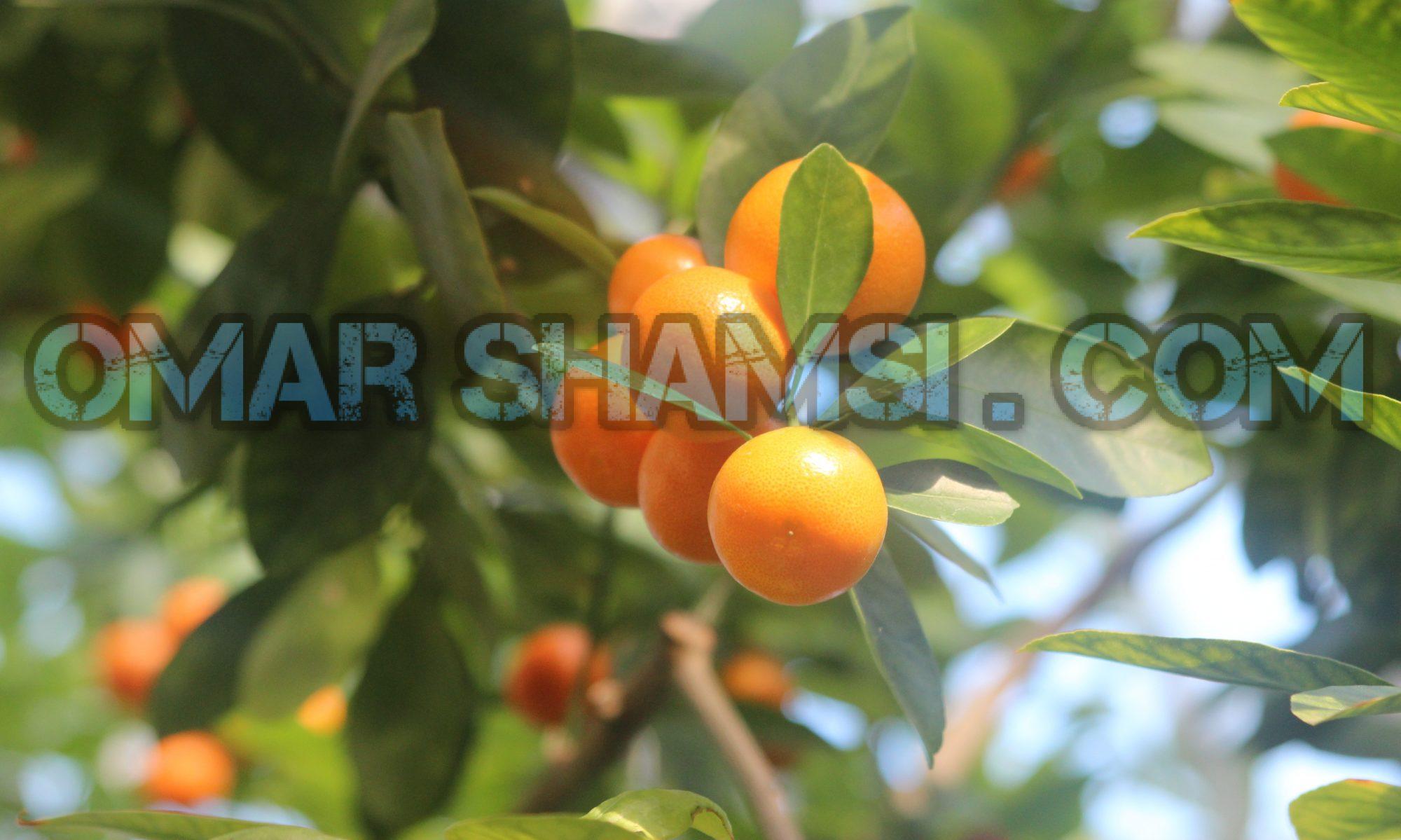 Omar Shamsi